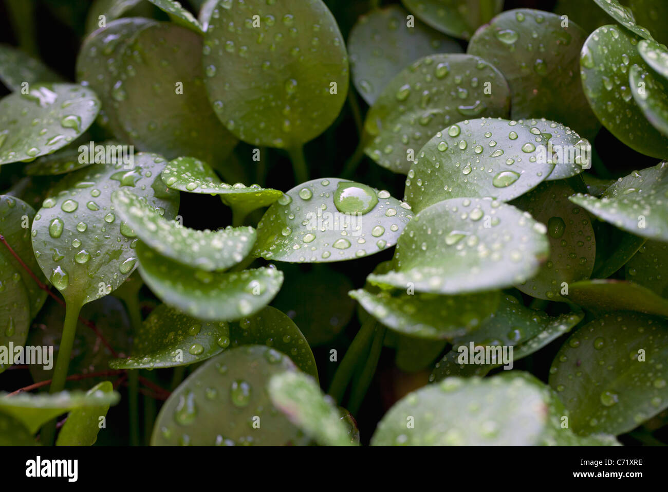Droplets on peperomia leaves - Stock Image