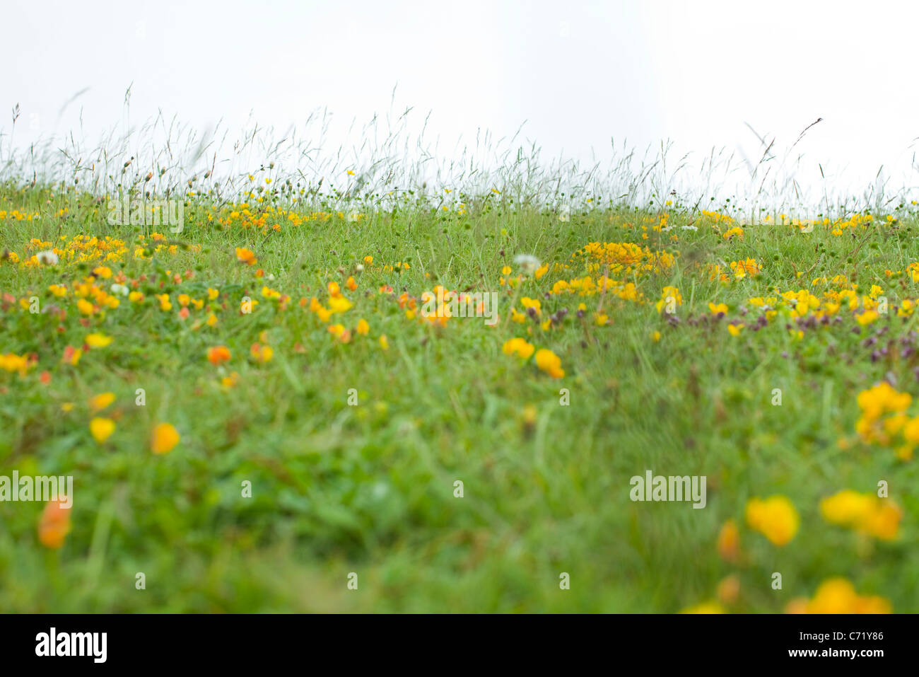 Meadow with wildflowers - Stock Image