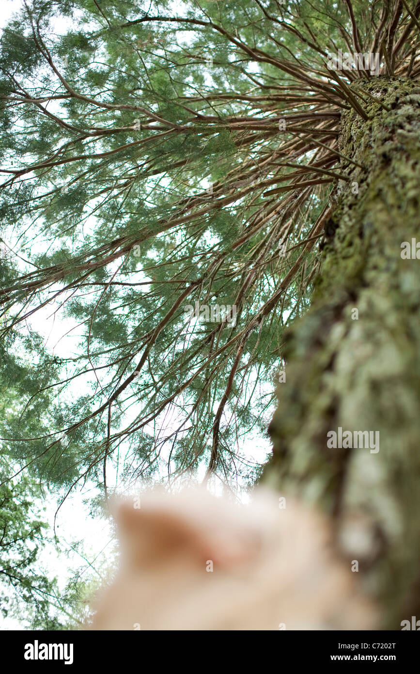 Person staring up at tree, low angle view - Stock Image