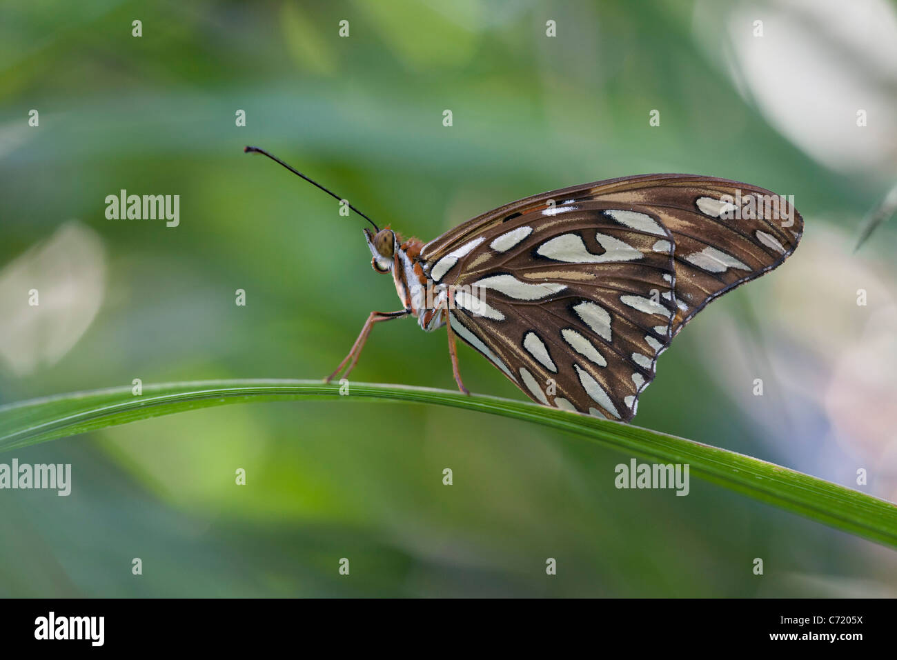 Gulf fritillary butterfly on blade of leaf - Stock Image