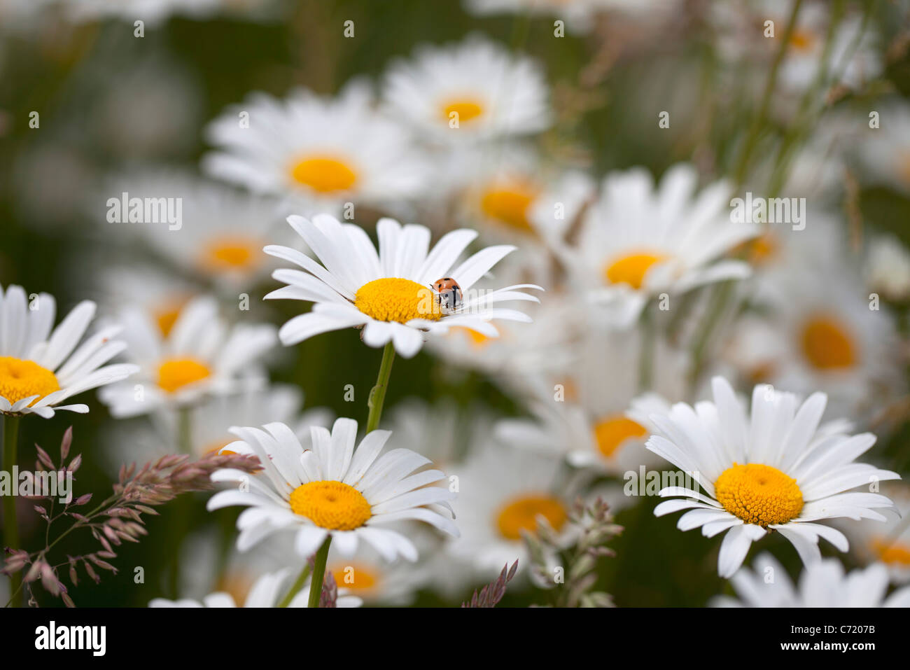 Daisies in bloom - Stock Image