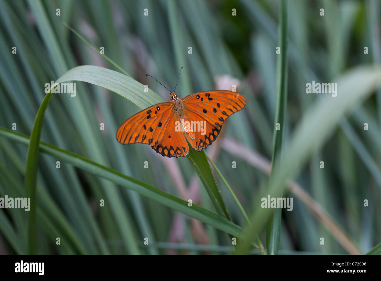 Gulf fritillary butterfly on blade of grass - Stock Image