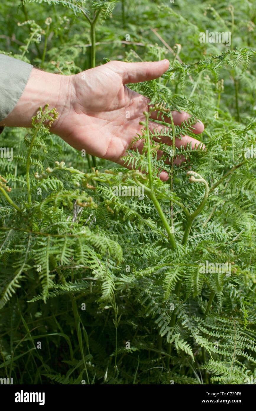 Man's hand touching fern - Stock Image