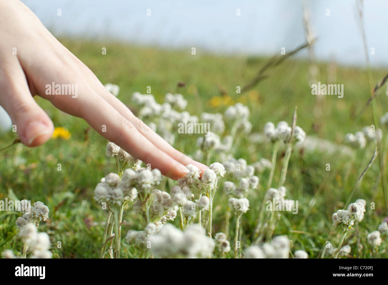 Hand touching white flowers in meadow, cropped - Stock Image