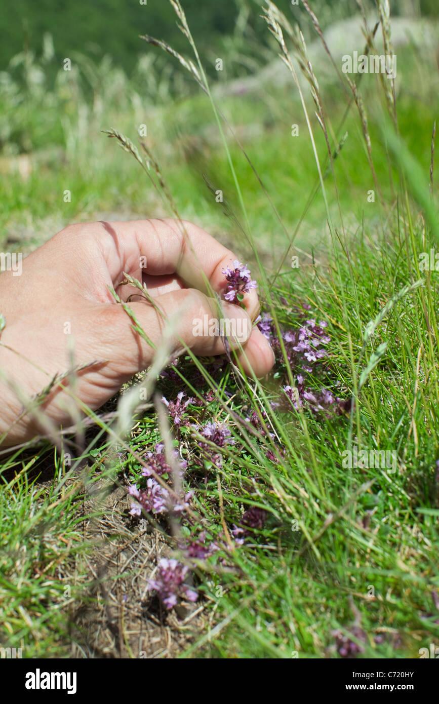 Hand picking wildflower - Stock Image
