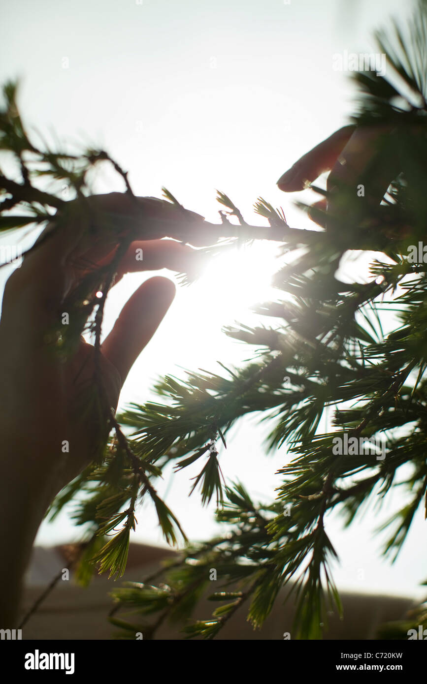 Hands touching tree branch, backlit by sun - Stock Image