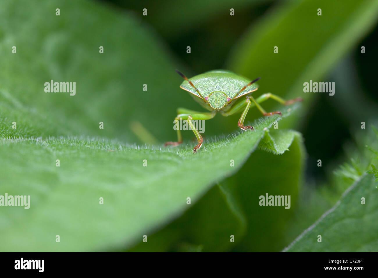 Green stink bug on leaf, close-up - Stock Image