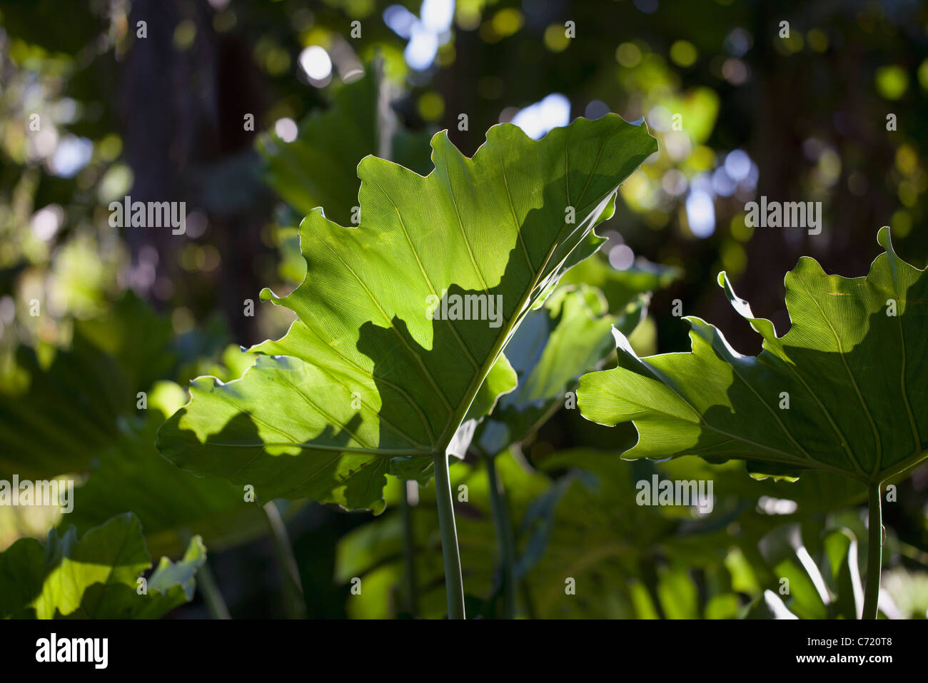 Leaves, low angle view - Stock Image