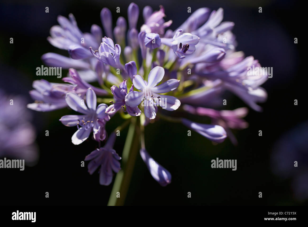 African lily (agapanthe), close-up - Stock Image
