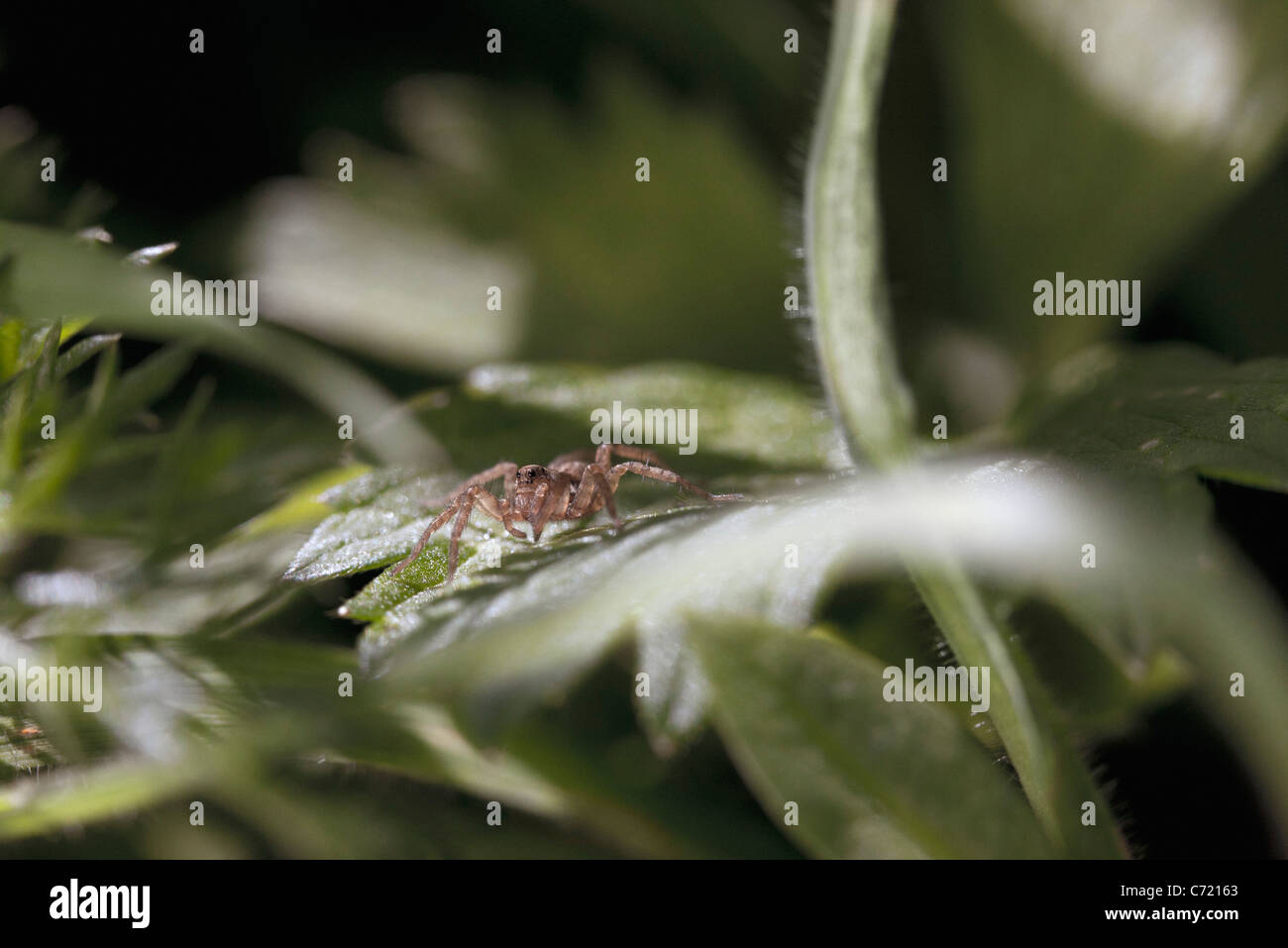 Tiny spider on leaf, close-up - Stock Image