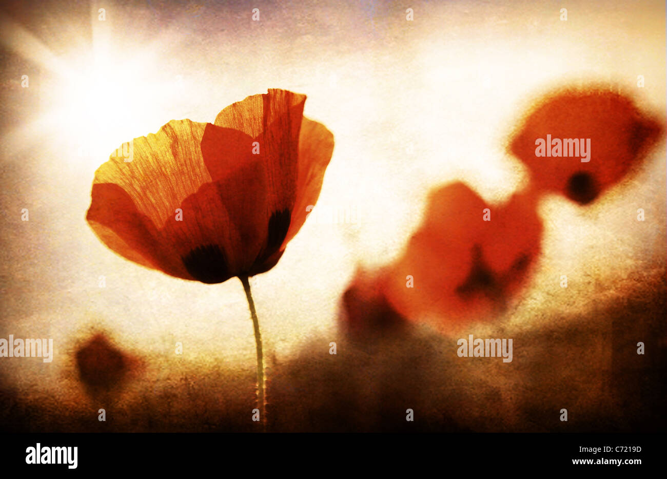 Red poppy flowers meadow, grungy style photo - Stock Image