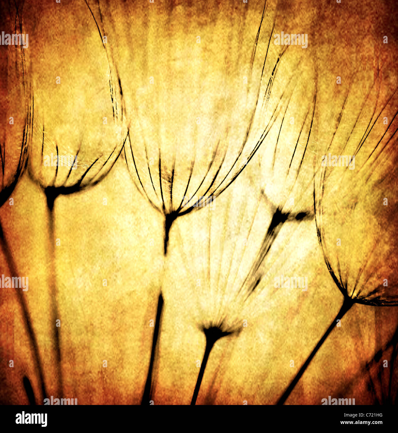 Grunge abstract dandelion flower background, soft focus - Stock Image