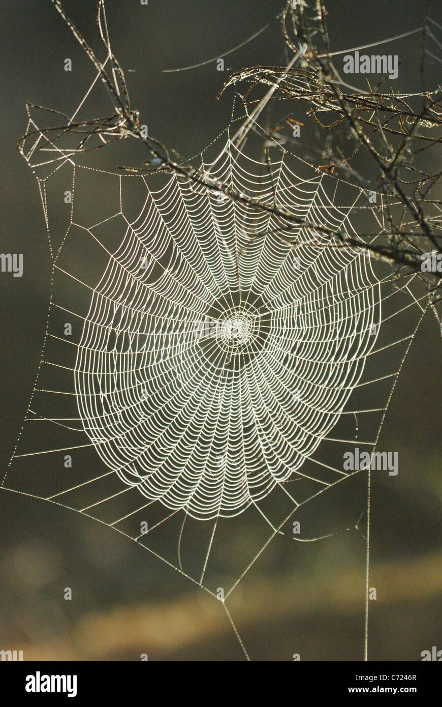 Spider's web in the wilderness of Malingsbo-Kloten Nature Reserve, Sweden - Stock Image