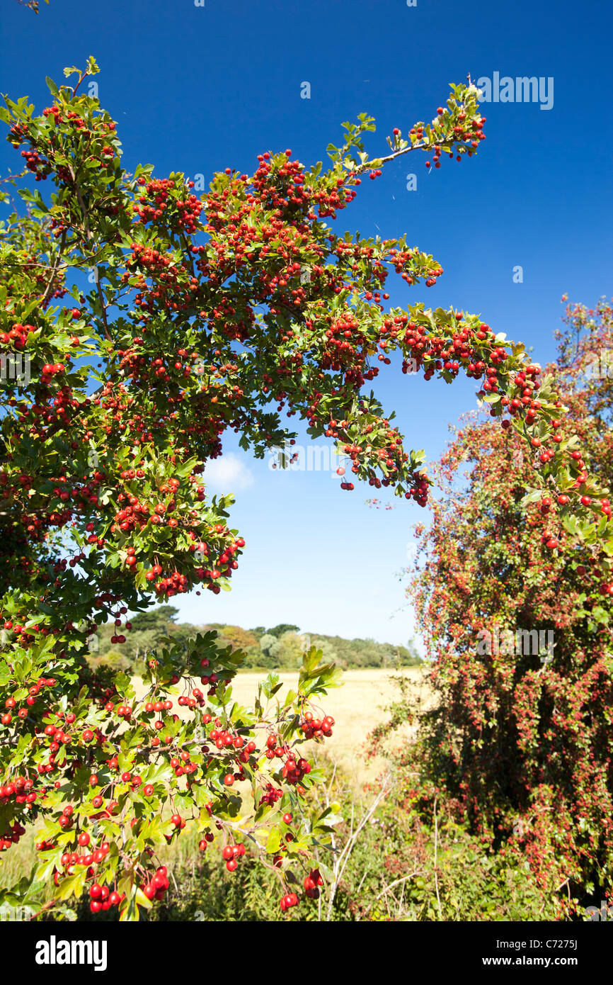 A heavy crop of Hawthorn berries on a Hawthorn tree. - Stock Image