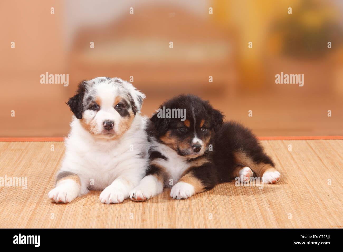 Australian Shepherd Puppies Black Tri And Blue Merle Stock Photo Alamy