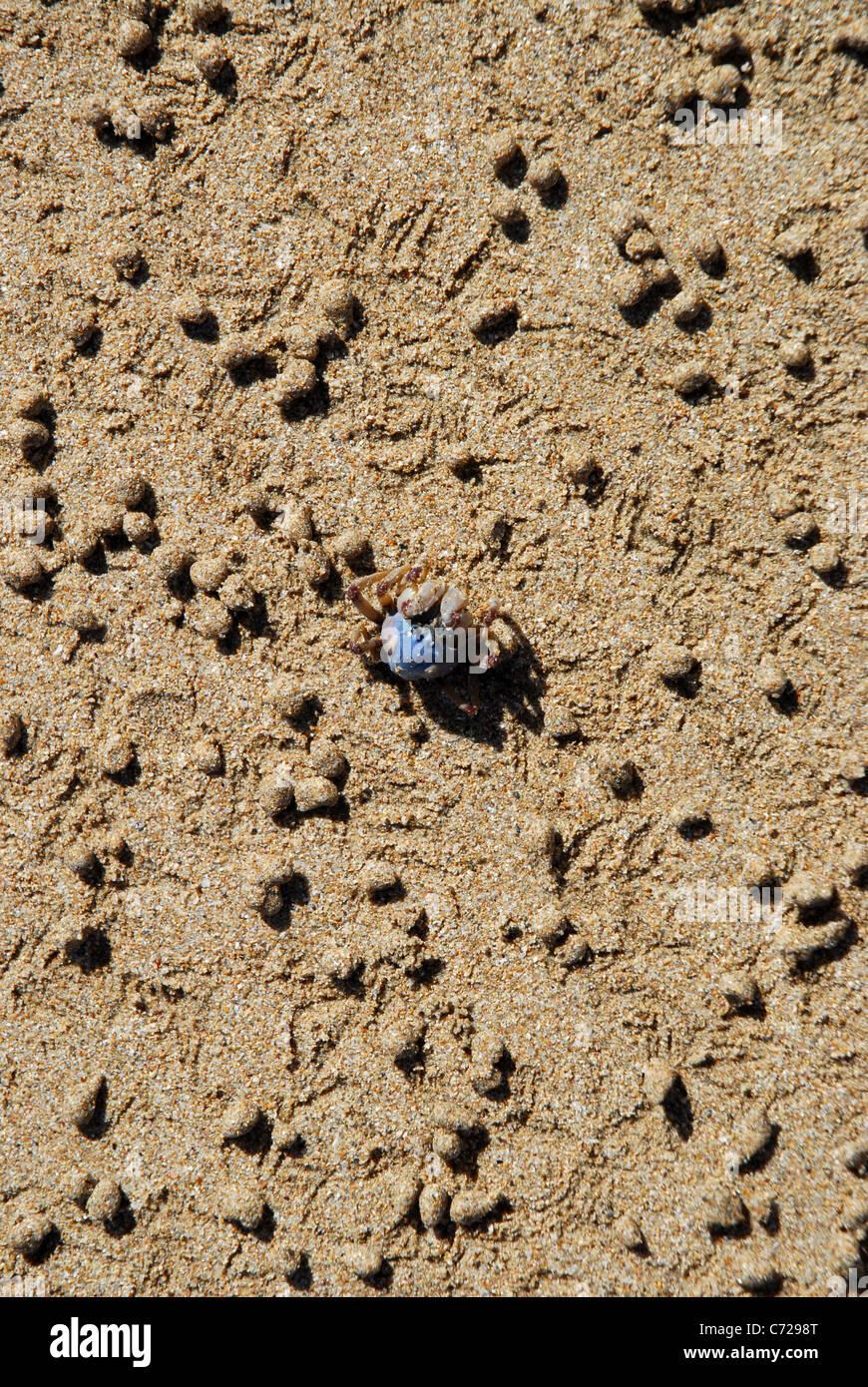 Soldier crab (Mictyris longicarpus), Florence Bay, Magnetic Island, Queensland, Australia - Stock Image