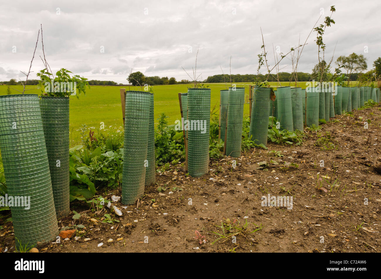 Newly planted row of hedging with protective tubes to prevent animal damage - Stock Image