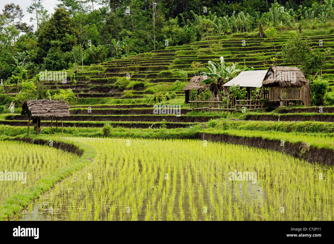 rice field and houses in bali indonesia - Stock Image