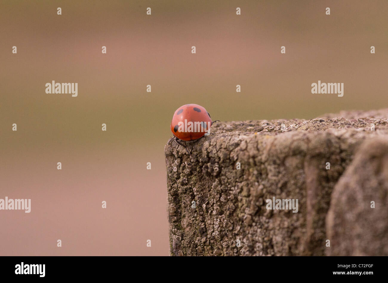 A ladybird or ladybug on a wooden fence post Stock Photo