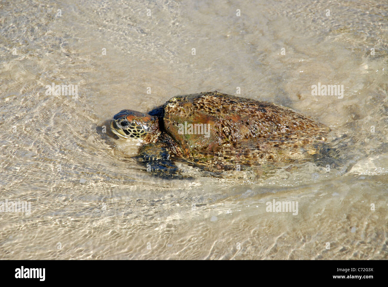 malnourished Green Sea Turtle (Chelonia Mydas), washed up on Florence Bay beach, Magnetic Island, Queensland, Australia - Stock Image
