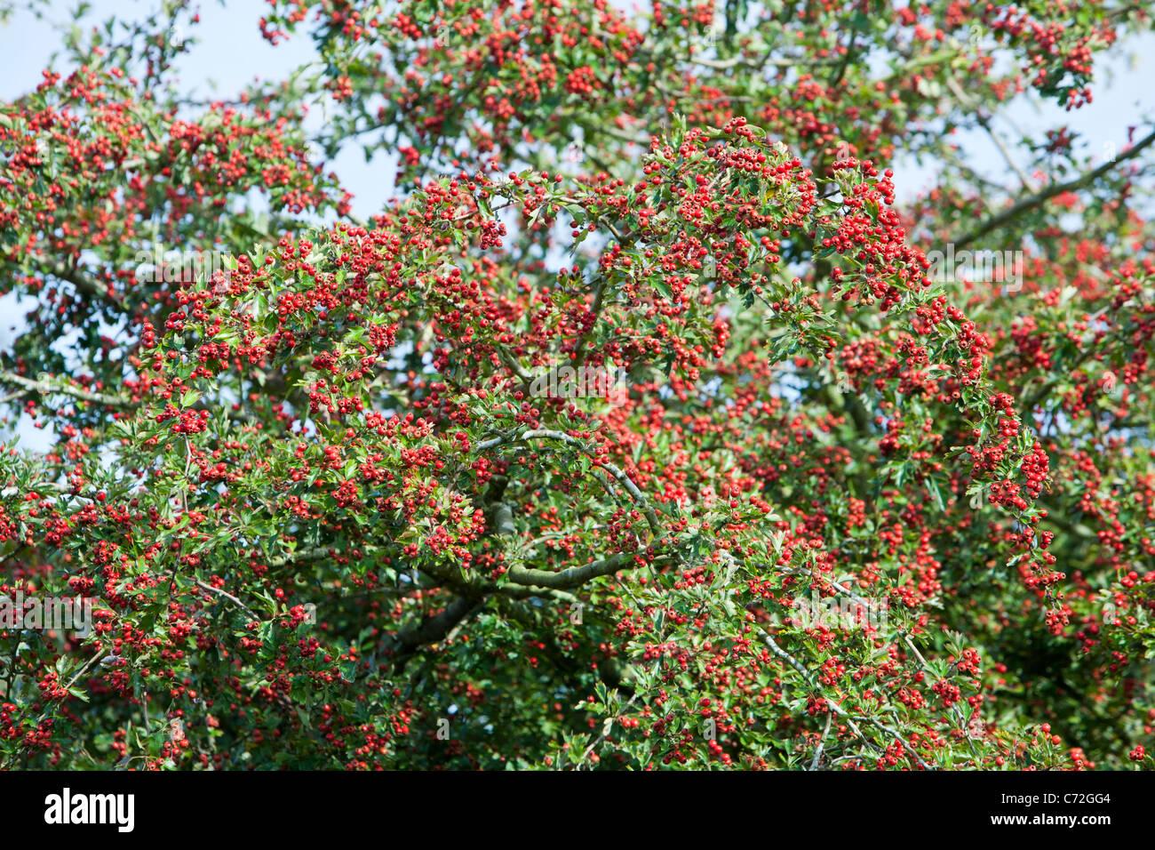 A heavy crop of Hawthorn berries on a Hawthron tree, Norfolk, UK. - Stock Image