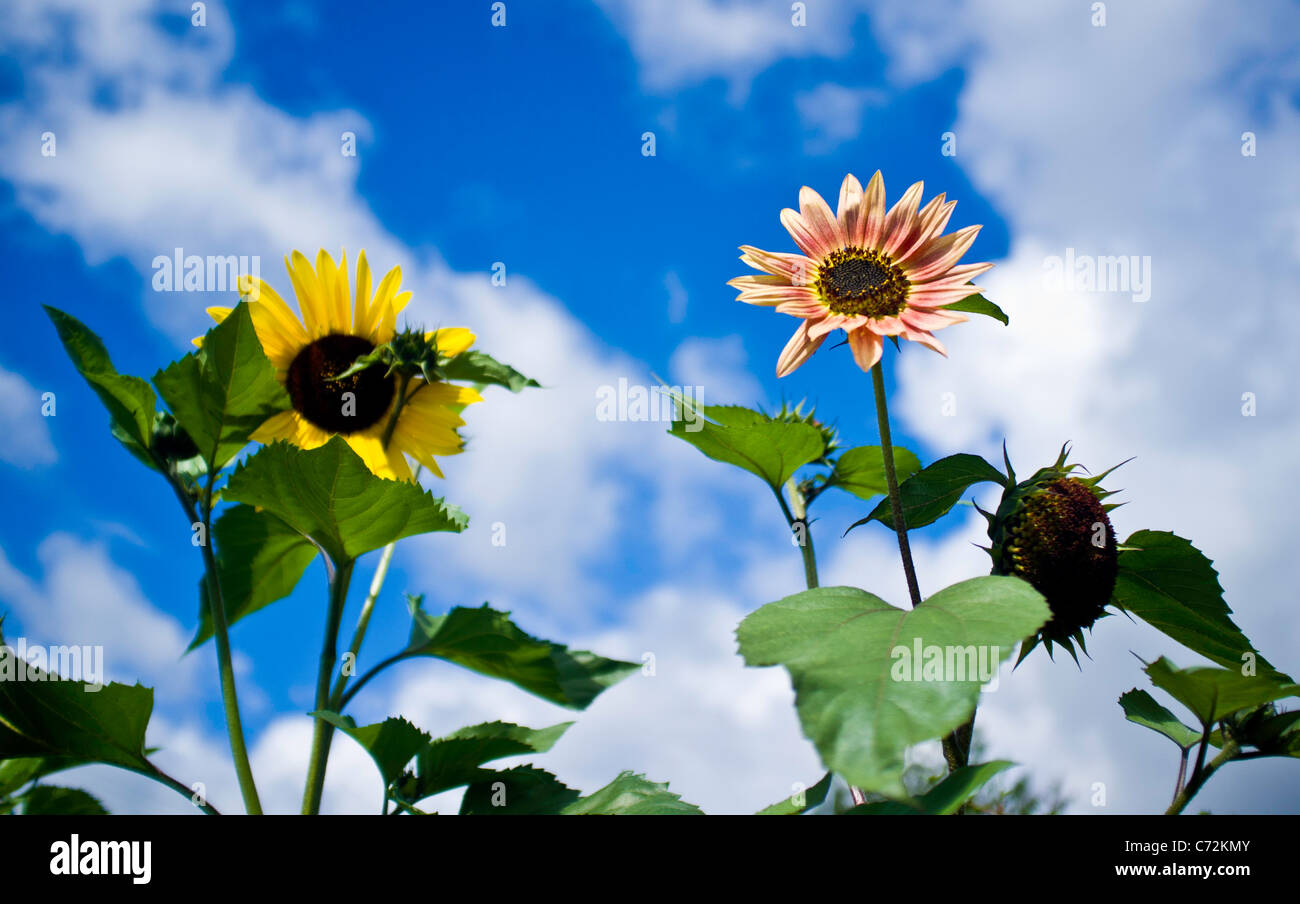 Surreal sunflowers LSD moment, trippy summer psychedelia, psychedelic moment - Stock Image