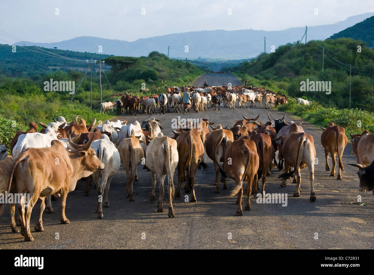 Herd of cattle near Arba Minch, Ethiopia Stock Photo