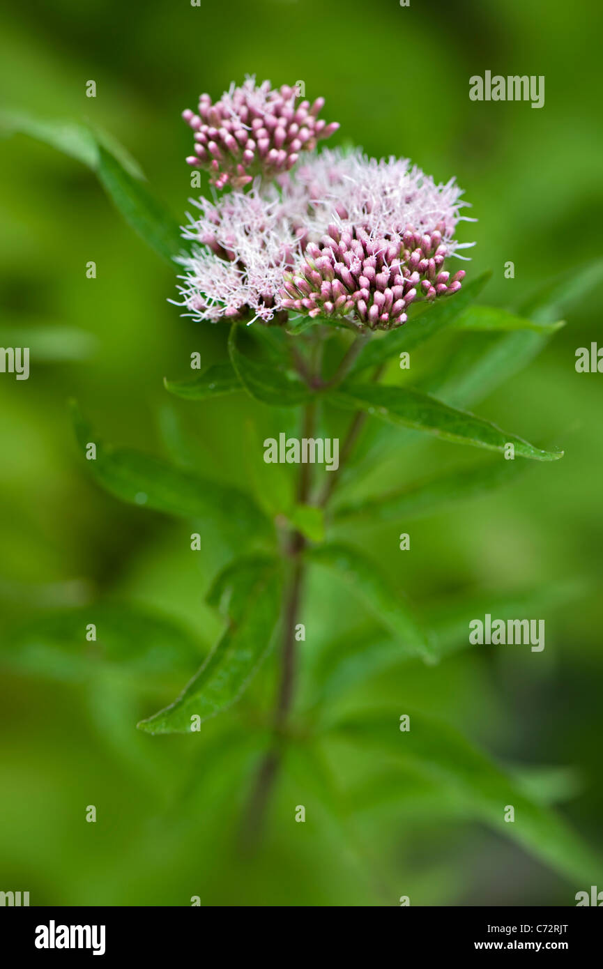 Close-up image of the summer flowering Eupatorium cannabinum pink flowers, also known as Hemp Agrimony or Holy rope. - Stock Image