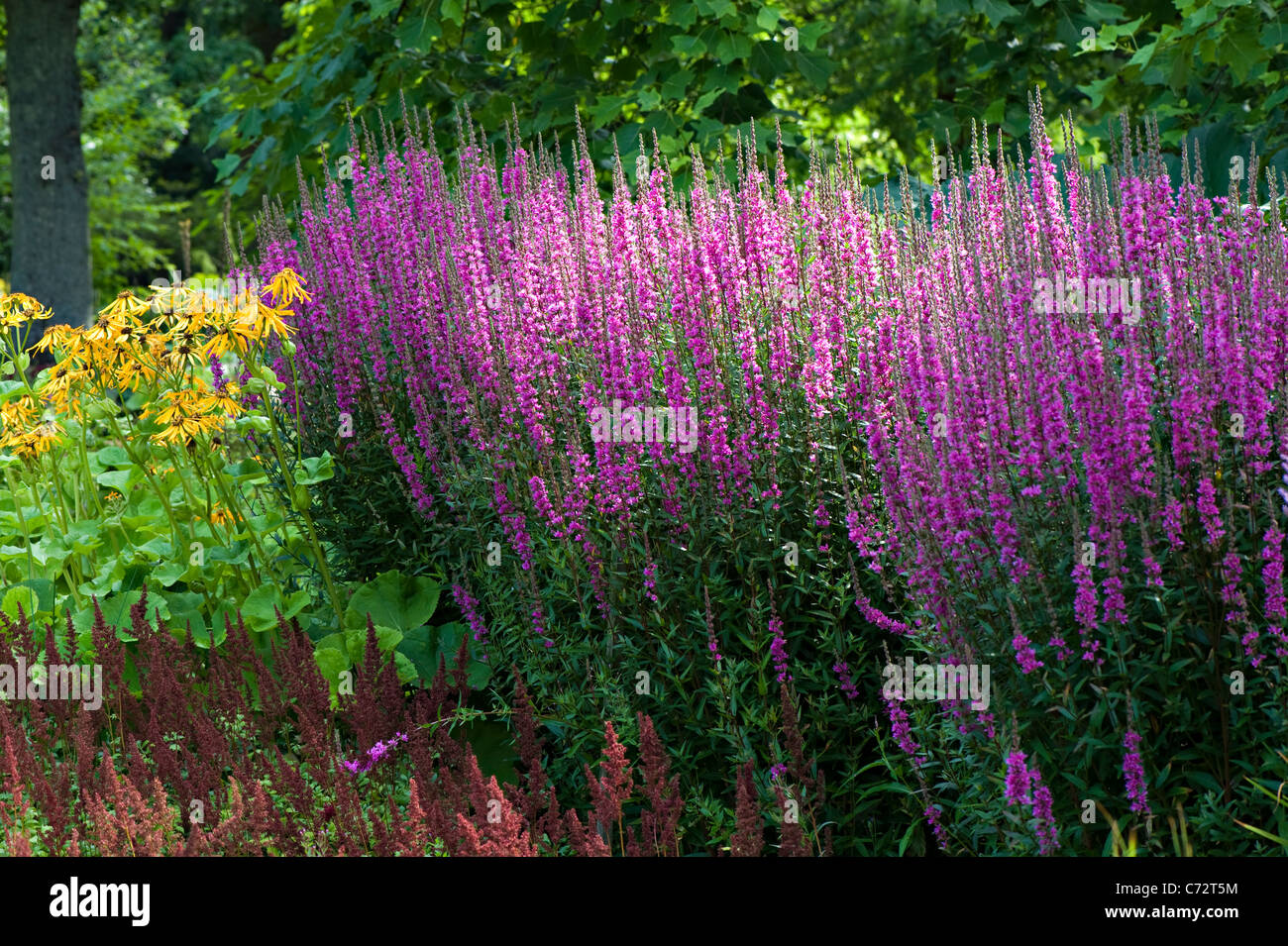 Close-up sunny image of Purple salvia flowers in an herbaceous border. - Stock Image