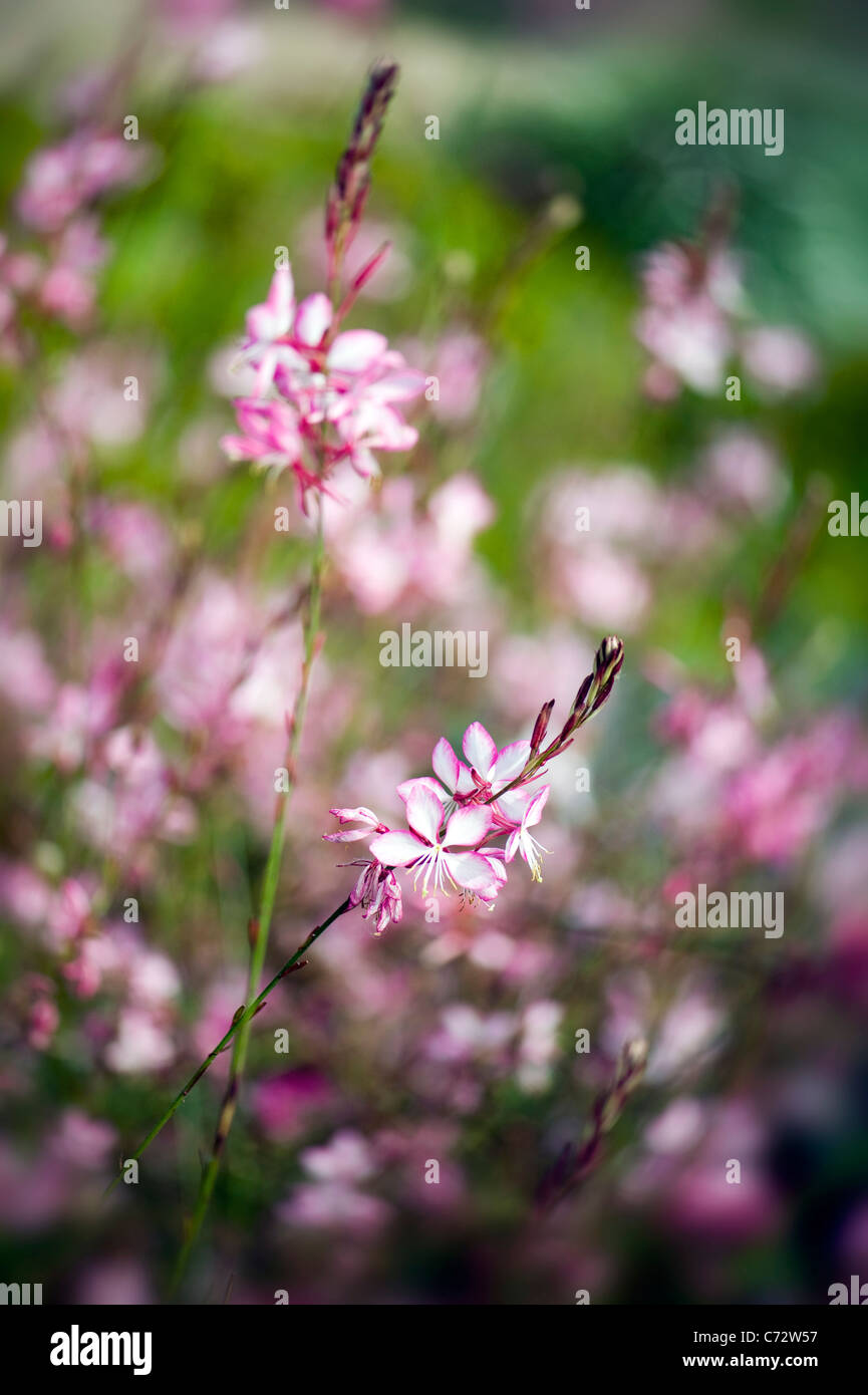 Gaura lindheimeri 'Whirling Butterflies' Butterfly - Stock Image