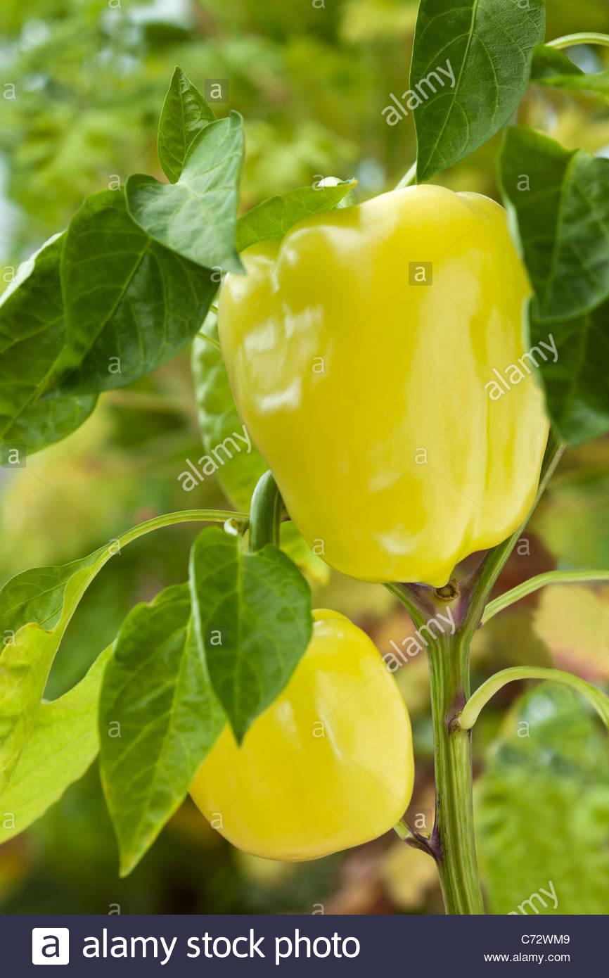 sweet pepper Capsicum Blondy F1 summer vegetable home grown organic hybrid cream yellow September kitchen garden - Stock Image
