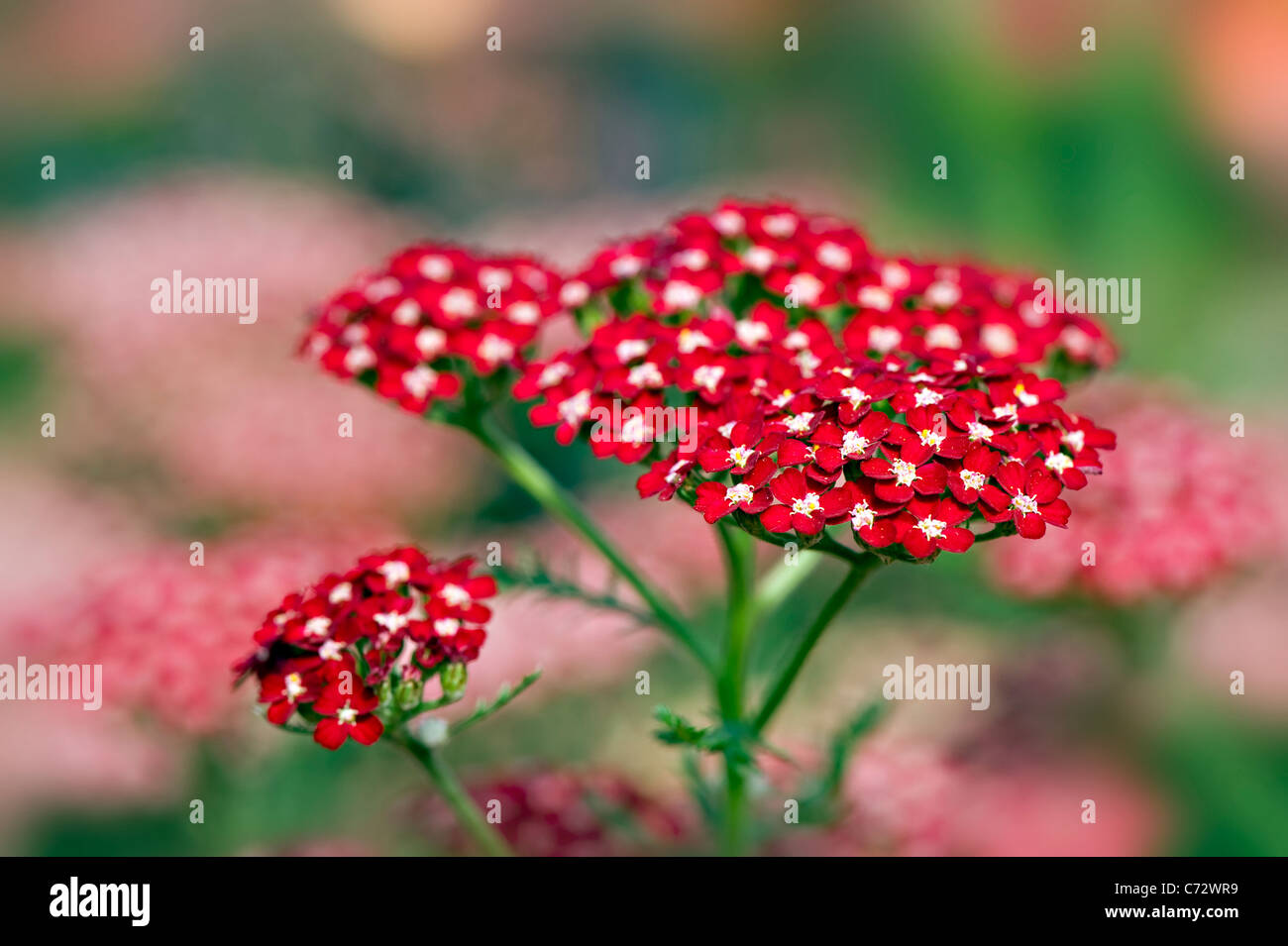 Achillea Millefolium 'Peggy Sue' Yarrow - Stock Image