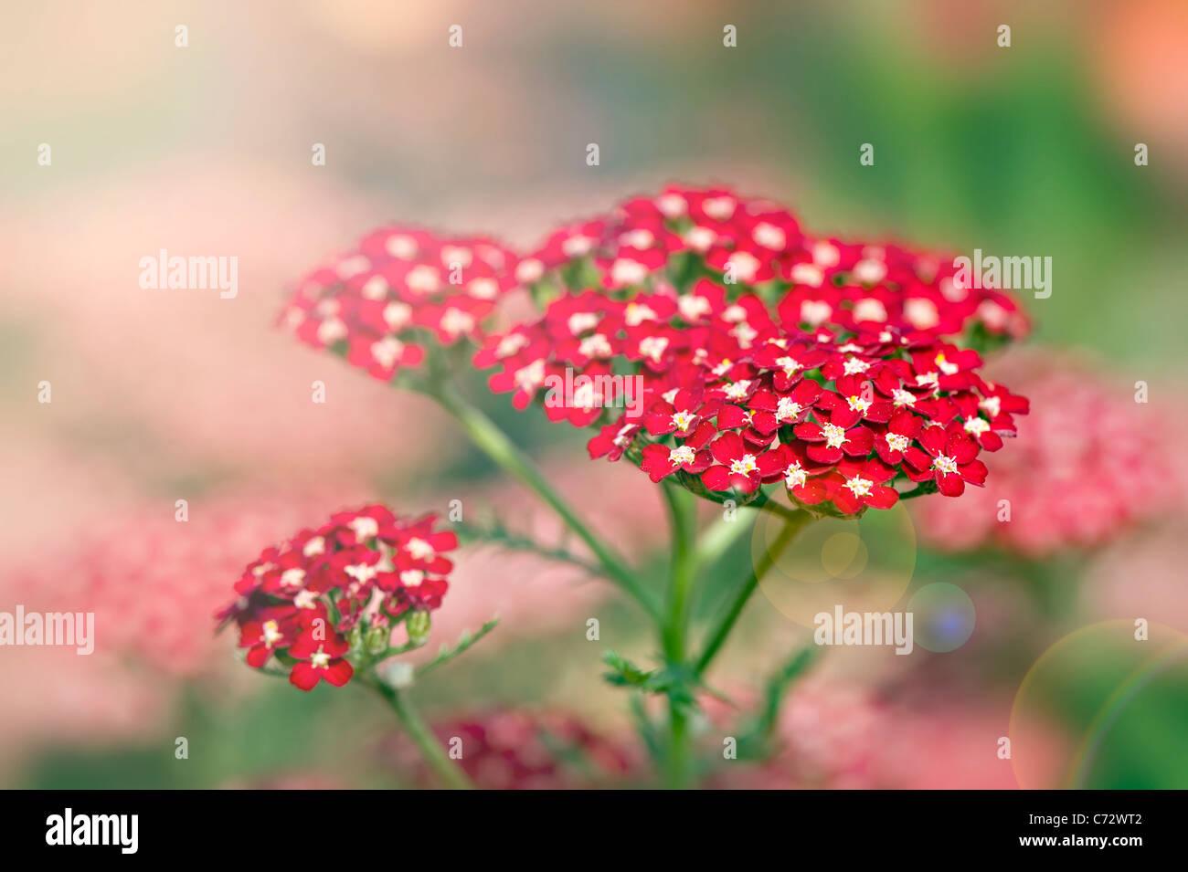 Achillea Millefolium 'Peggy Sue' Yarrow with sun flare - Stock Image