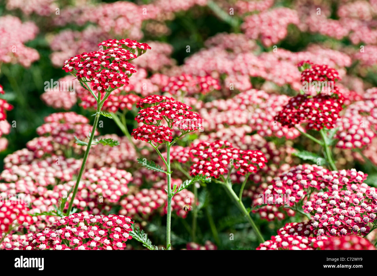 Close-up image of the vibrant summer flowering red Achillea Millefolium 'Peggy Sue' Flowers also known as - Stock Image