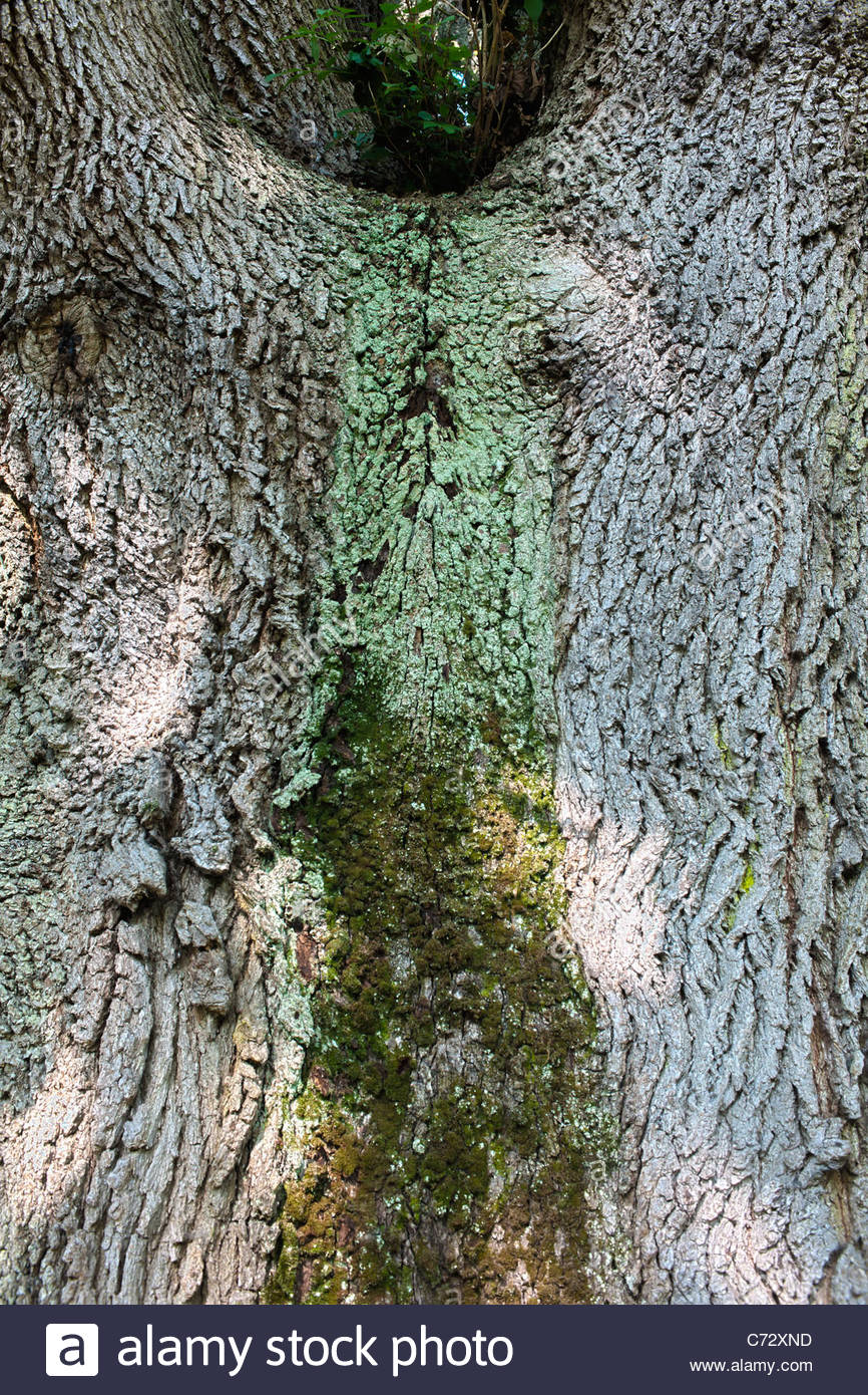 Hungarian oak Quercus frainetto trunk bark Buxted Park Sussex champion tree large deciduous parkland summer green - Stock Image