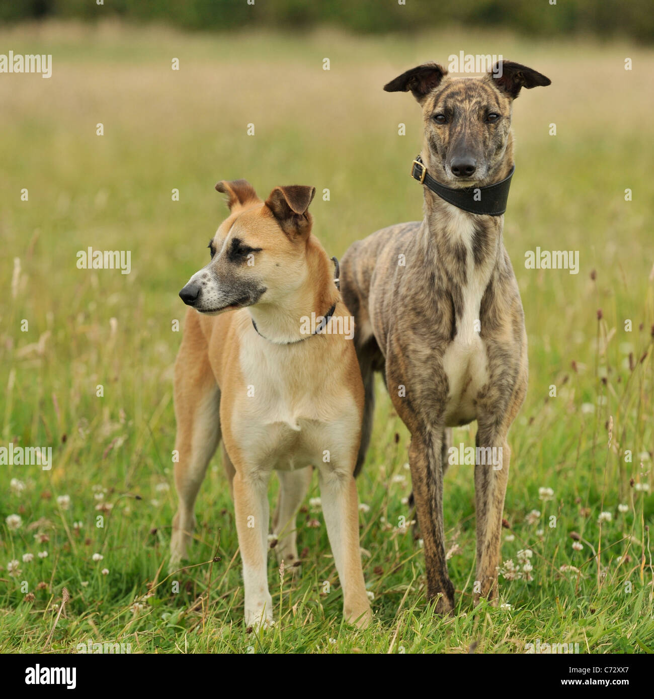 pair of lurcher dogs - Stock Image