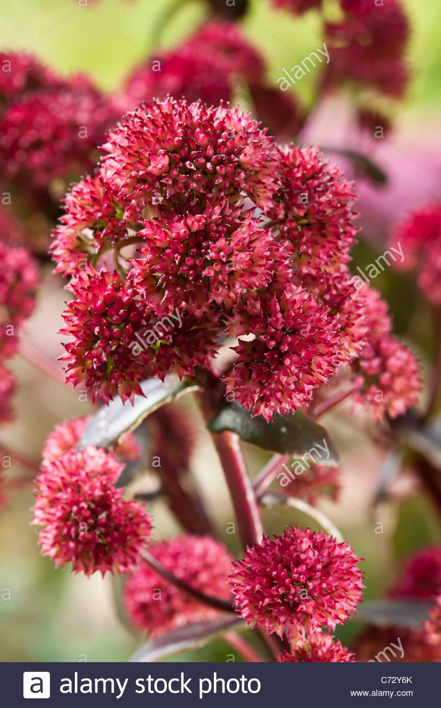 Sedum Marchants Best Red showy stonecrop ice plant autumn fall perennial dark pink September garden - Stock Image