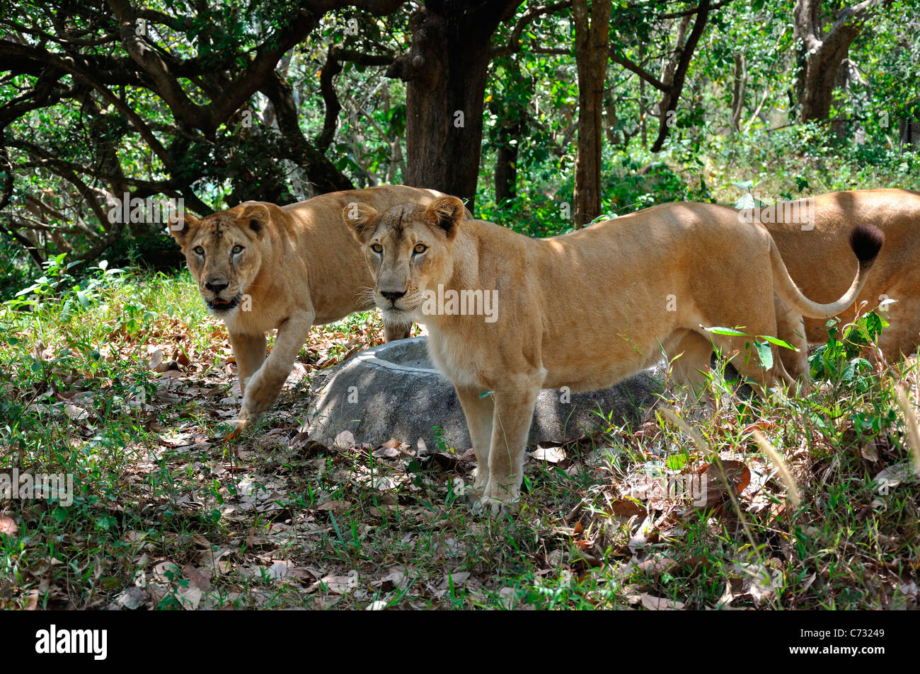 Indian Lions - Stock Image