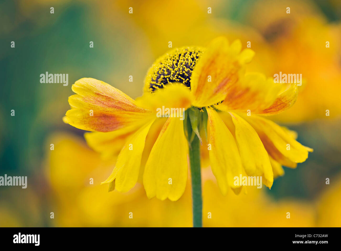 Yellow Helenium autumnale flowers - sneezeweed - Stock Image