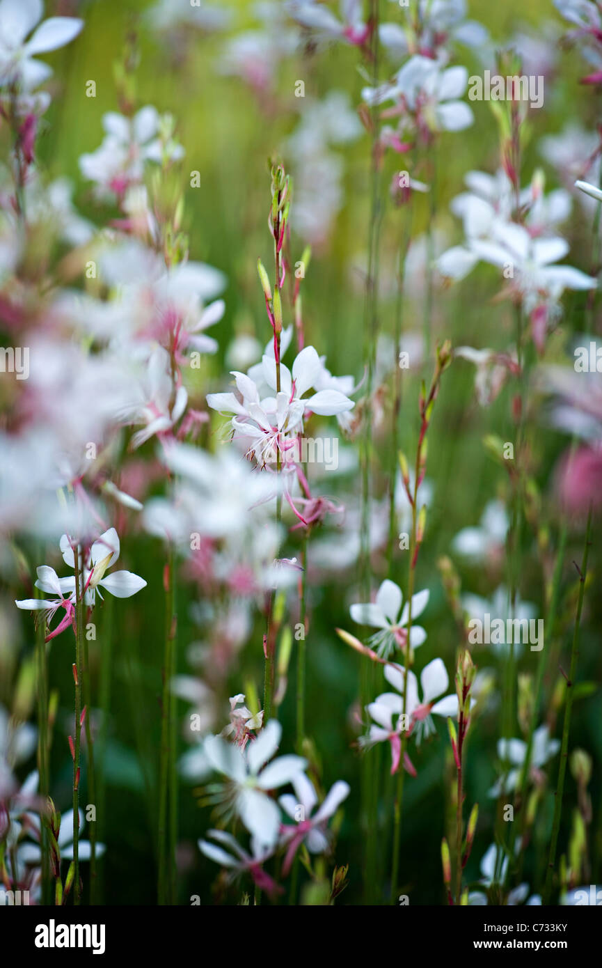 Close-up image of Gaura lindheimeri 'Whirling Butterflies' gaura pink and white flowers taken against a - Stock Image
