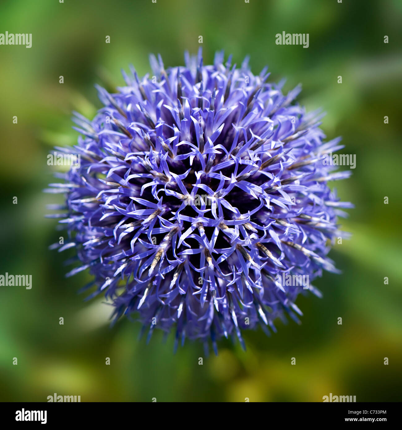 Close-up, macro image of a single blue Echinops Ritro Veitch's Blue flower head - small globe thistle. - Stock Image