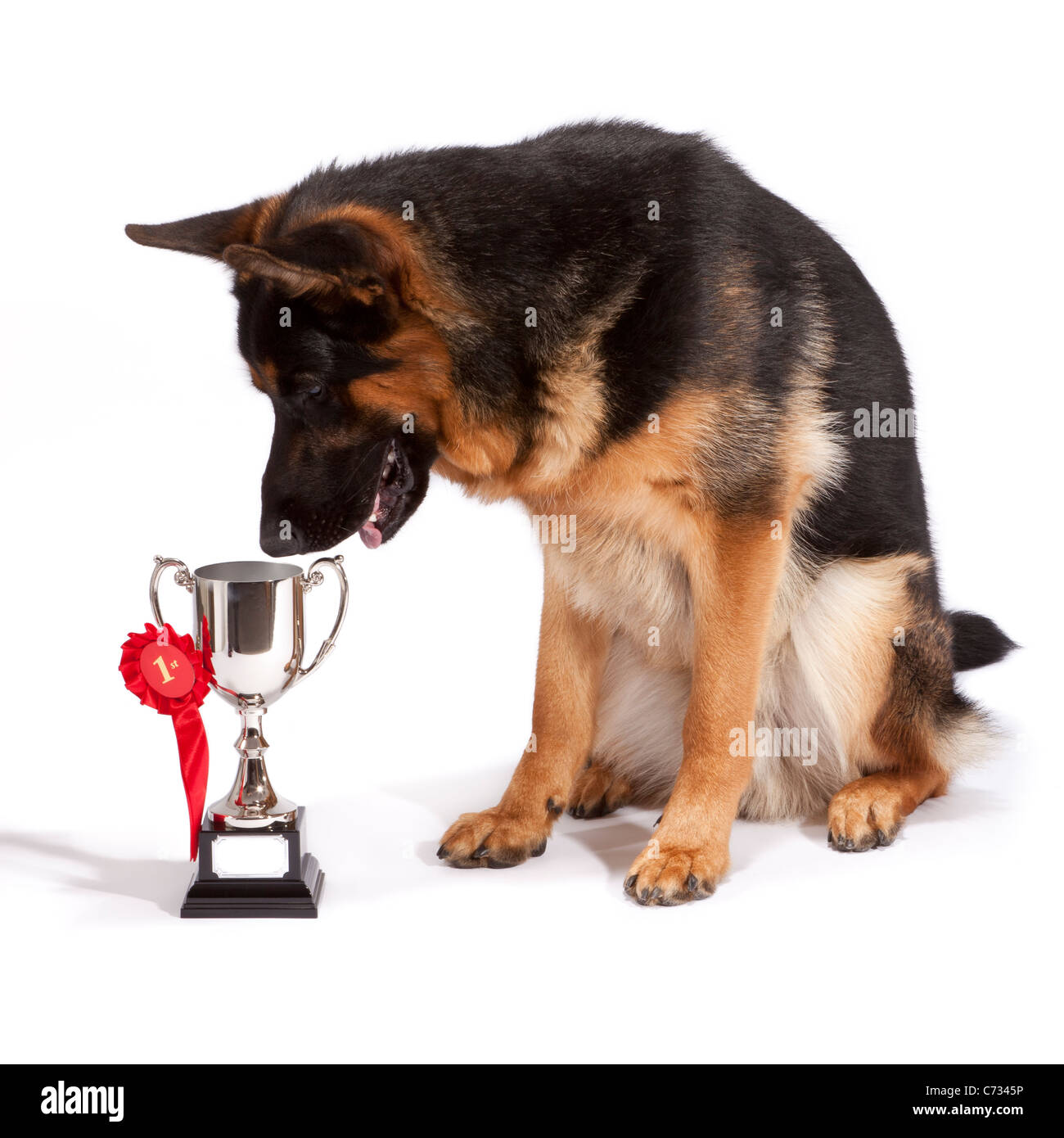 Young male German Shepherd Dog at 10 months old looking at his trophy after gaining first place - Stock Image