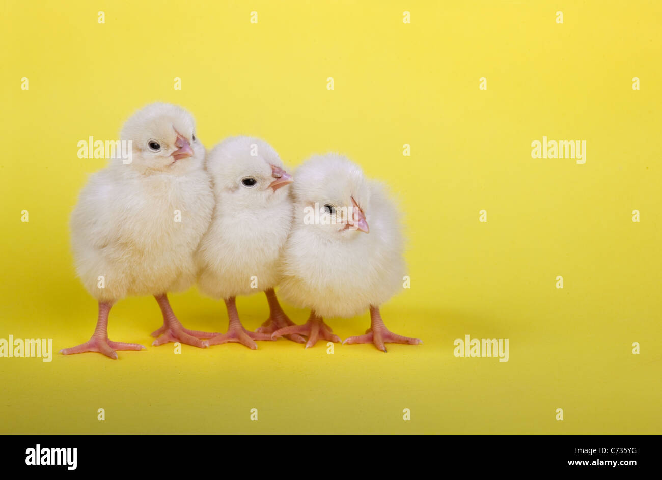 three newly hatched Chicks in a row on yellow background - Stock Image
