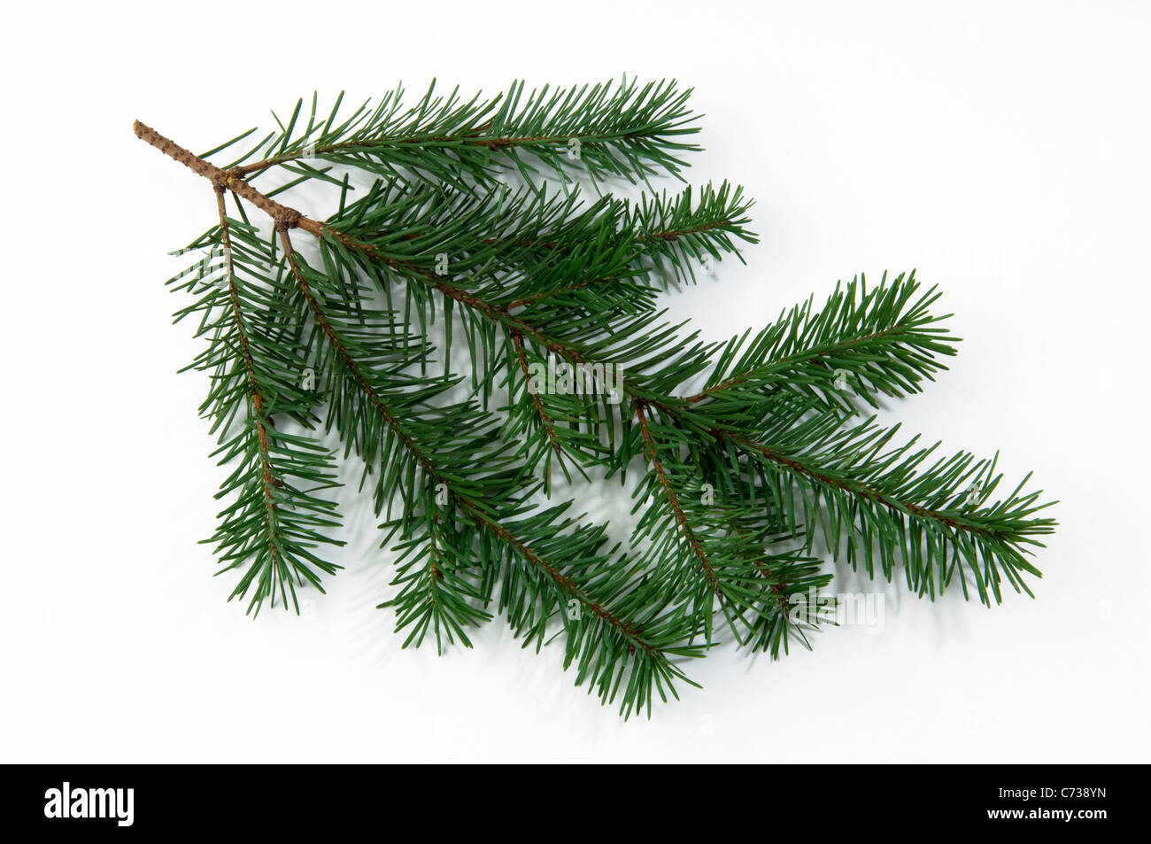 Douglas Fir (Pseudotsuga menziesii, Pseudotsuga douglasii), twig. Studio shot against a white background. - Stock Image