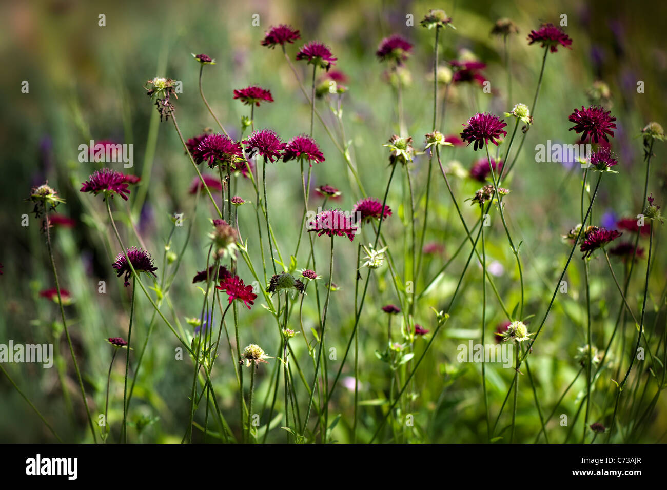 The delicate flowers of Scabiosa atropurpurea also known as the mourningbride or sweet scabious flower, taken against - Stock Image