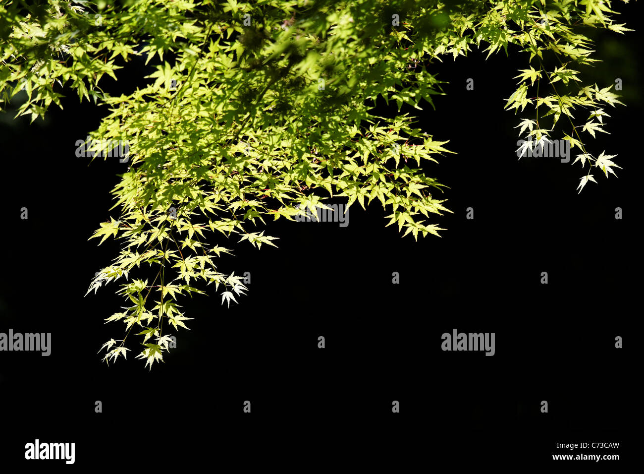 Branches and leaves of Japanese maple glow against dark background, Portland Japanese Garden, Portland, Oregon, - Stock Image