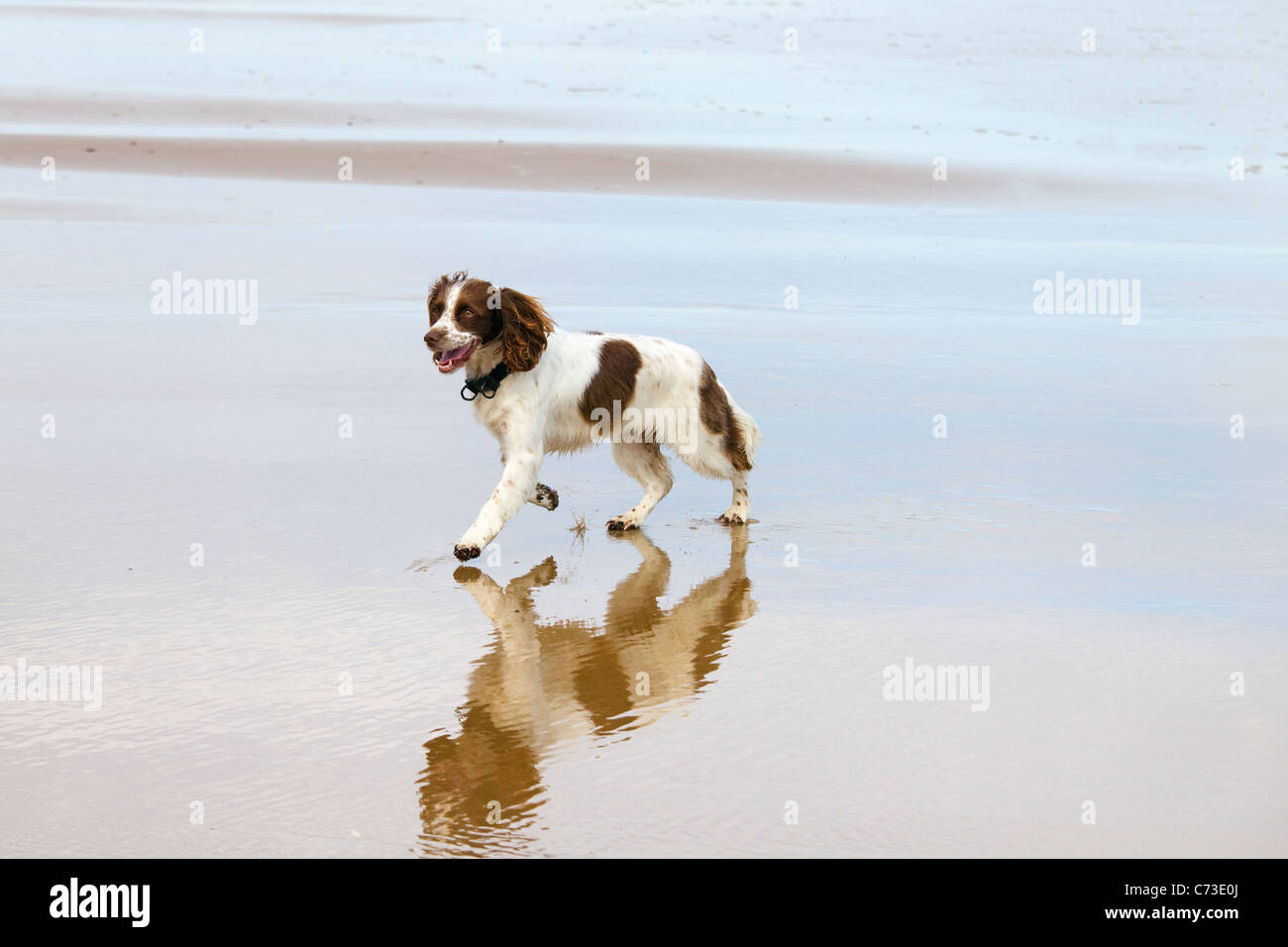 English Springer Spaniel chasing ball on beach Stock Photo