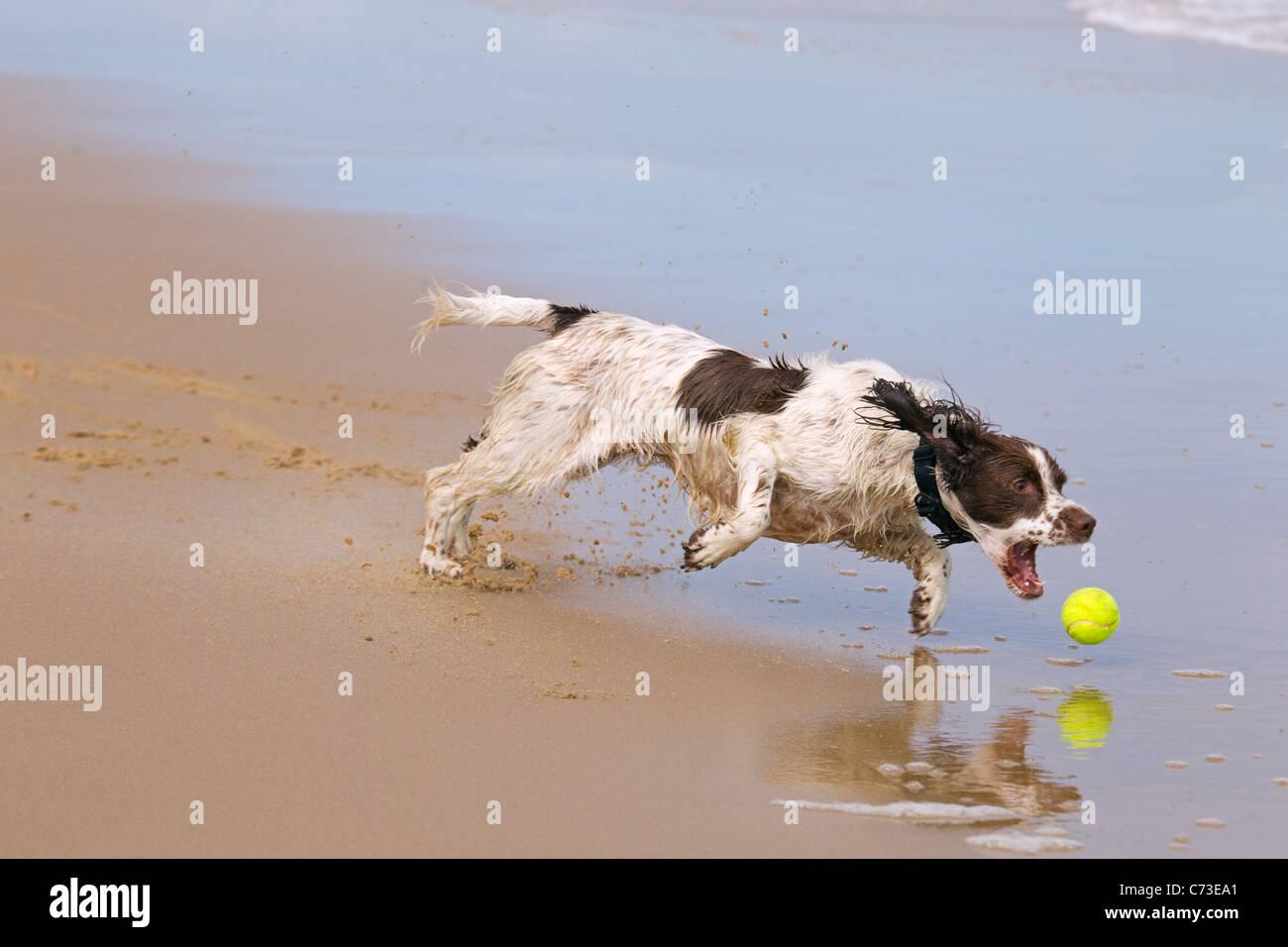 English Springer Spaniel chasing ball on beach Stock Photo