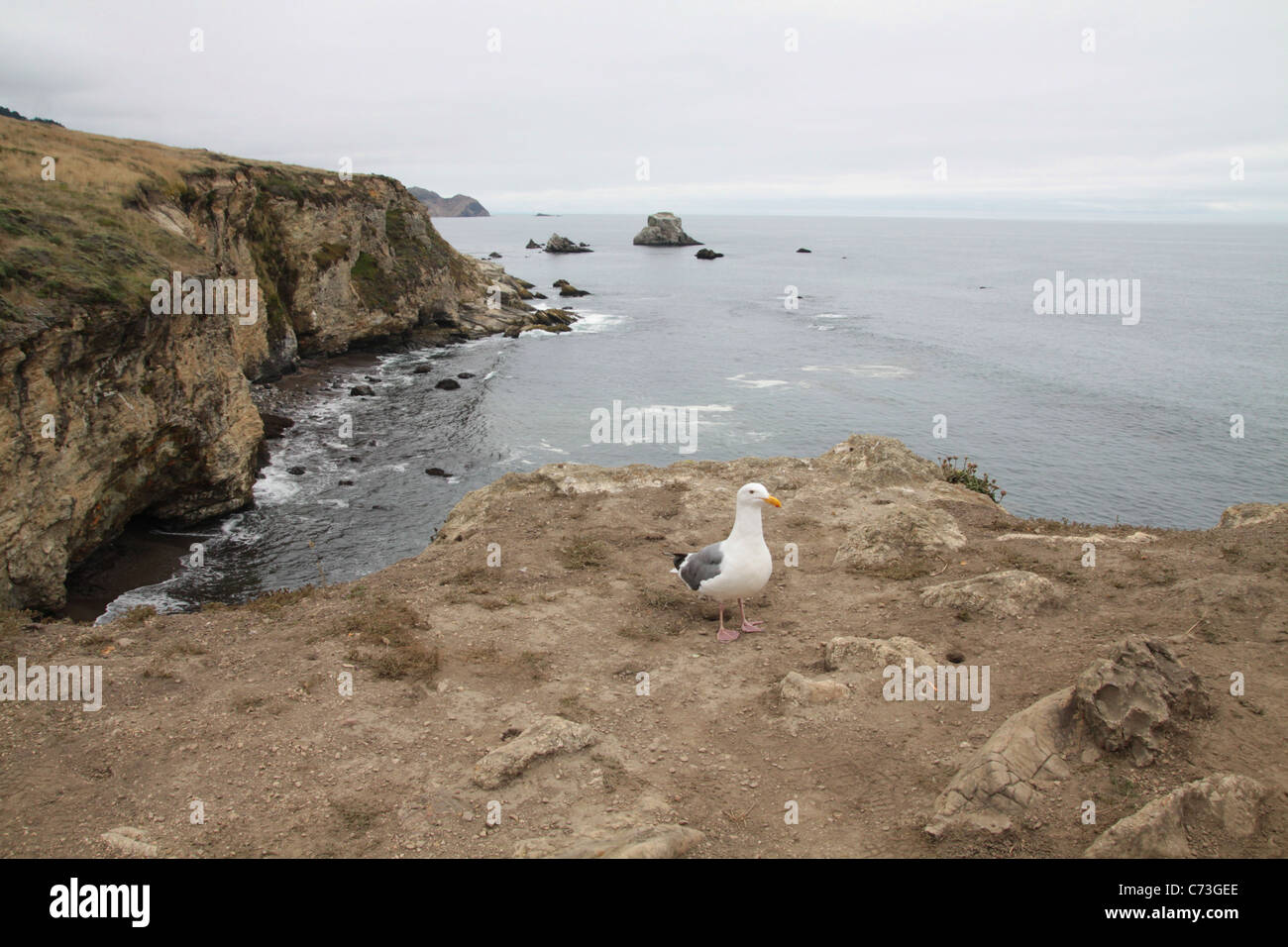 A seagull standing on the edge of a cliff in Point Reyes, California. - Stock Image