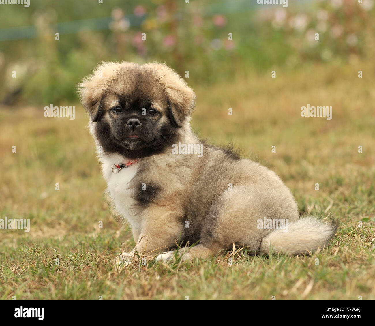 Tibetan Spaniel Puppy Stock Photo Alamy